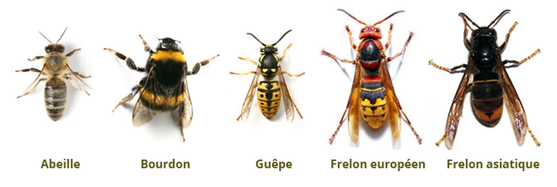Abeille, Bourdon, Guêpe, Frelon européen, Frelon asiatique
